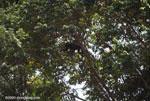 Mantled Howler (Alouatta palliata) [costa-rica_1081]
