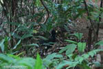 Great Curassow (Crax rubra) [male] [costa-rica_1100]