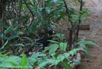 Great Curassow (Crax rubra) [male] [costa-rica_1103]