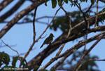 Yellow-bellied Elaenia (Elaenia flavogaster)