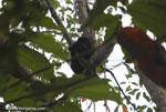 Mantled Howler (Alouatta palliata) or Golden-mantled Howling Monkey [costa-rica_1316]