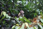 White-faced capuchin [costa-rica_1324]
