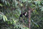 White-faced capuchin [costa-rica_1343]