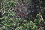 Scarlet macaw in flight [costa-rica_1376]