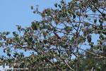 Scarlet macaw in flight [costa-rica_1377]