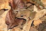 Leaf frog [costa_rica_4683]