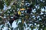 Swainson's Toucan (Ramphastos swainsonii) [costa_rica_4879]