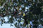 Swainson's Toucan (Ramphastos swainsonii) [costa_rica_4890]