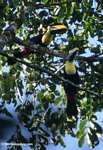 Chestnut-mandibled Toucan (Ramphastos swainsonii) [costa_rica_4901]