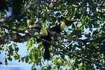 Chestnut-mandibled Toucan (Ramphastos swainsonii) [costa_rica_4911]