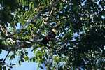 Swainson's Toucan (Ramphastos swainsonii) [costa_rica_4927]