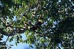 Chestnut-mandibled Toucan (Ramphastos swainsonii) [costa_rica_4929]