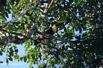 Swainson's Toucan (Ramphastos swainsonii) [costa_rica_4938]