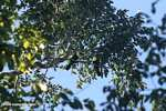 Swainson's Toucan (Ramphastos swainsonii) [costa_rica_4961]