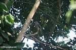 Roadside Hawk (Buteo magnirostris) [costa_rica_4999]