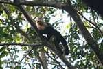 White-faced Capuchin (Cebus capucinus) [costa_rica_5026]