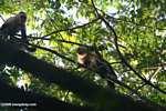 White-faced Capuchin (Cebus capucinus) [costa_rica_5033]