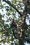 White-faced Capuchin (Cebus capucinus) [costa_rica_5075]