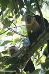 White-faced Capuchin (Cebus capucinus) [costa_rica_5118]