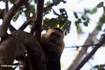 White-faced Capuchin baring its teeth