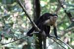 White-faced Capuchin with its tongue out