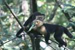 White-faced Capuchin [costa_rica_5170]