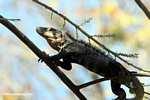 Black Iguana (Ctenosaura similis) in a tree [costa_rica_5313]