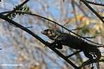 Black Iguana (Ctenosaura similis) in a tree [costa_rica_5317]