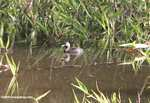 Small gray grebe or duck