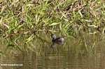 Small gray grebe or duck [costa_rica_5330]