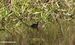 Small gray grebe or duck [costa_rica_5333]