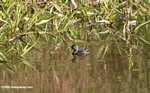 Small gray grebe or duck [costa_rica_5336]