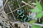 Green-and-black poison dart frog (Dendrobates auratus) [costa_rica_5382]