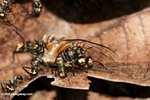 Ants feeding on a fallen cicada
