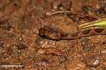 Common chunk headed snake - Imantodes cenchoa [costa_rica_5510]
