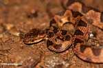 Common chunk headed snake - Imantodes cenchoa [costa_rica_5512]