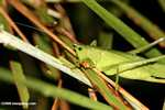 Green katydid [costa_rica_5520]