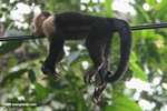 Costa Rican capuchin monkey taking it easy on a powerline