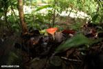 Red cup fungi [costa_rica_la_selva_0002]