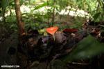 Red cup fungi [costa_rica_la_selva_0005]