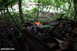 Red cup fungi [costa_rica_la_selva_0007]