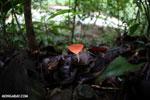 Red cup fungi [costa_rica_la_selva_0010]