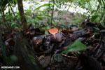 Red cup fungi [costa_rica_la_selva_0011]