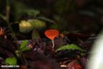 Red cup fungi [costa_rica_la_selva_0016]