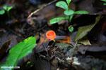 Red cup fungi [costa_rica_la_selva_0026]