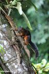 Squirrel [costa_rica_la_selva_0042]