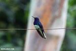 Hummingbird [costa_rica_la_selva_0060]
