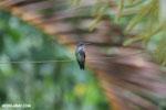 Hummingbird [costa_rica_la_selva_0065]