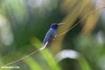 Hummingbird [costa_rica_la_selva_0074]