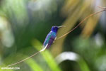 Hummingbird [costa_rica_la_selva_0076]